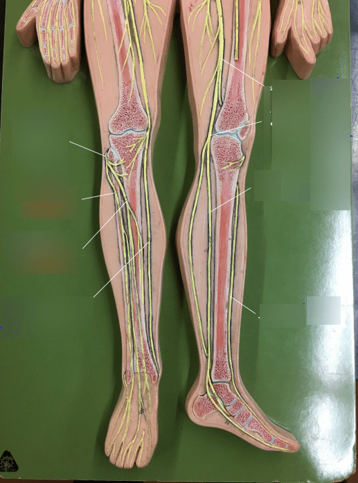 lower leg nerve diagram armstrong furnace control board wiring nerves quizlet location