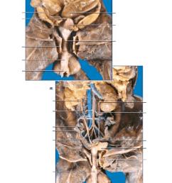 mink female reproductive 2 diagram quizletminks bone diagram 17 [ 768 x 1024 Pixel ]