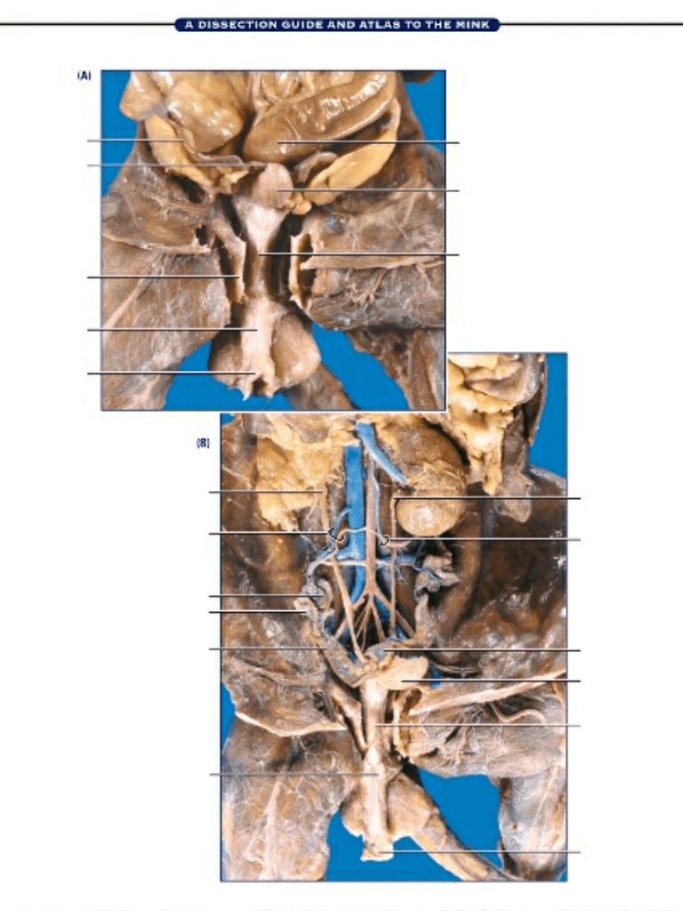 medium resolution of mink female reproductive 2 diagram quizletminks bone diagram 17