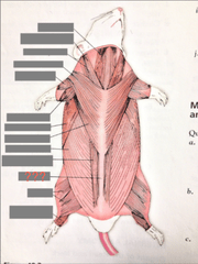 Rat Muscles Ventral View Flashcards Quizlet