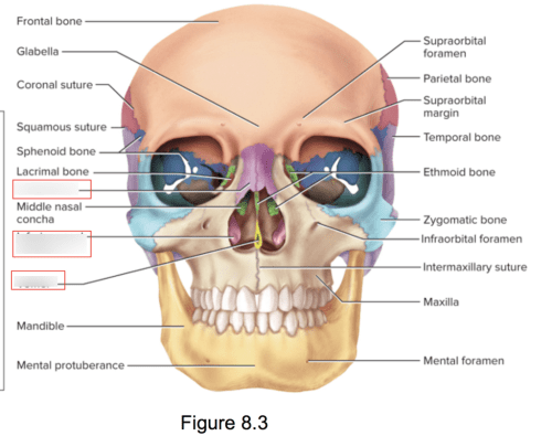small resolution of terms in this set 3 nasal bone