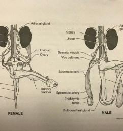 pig anatomy pt 4 reproductive anatomy [ 1024 x 768 Pixel ]