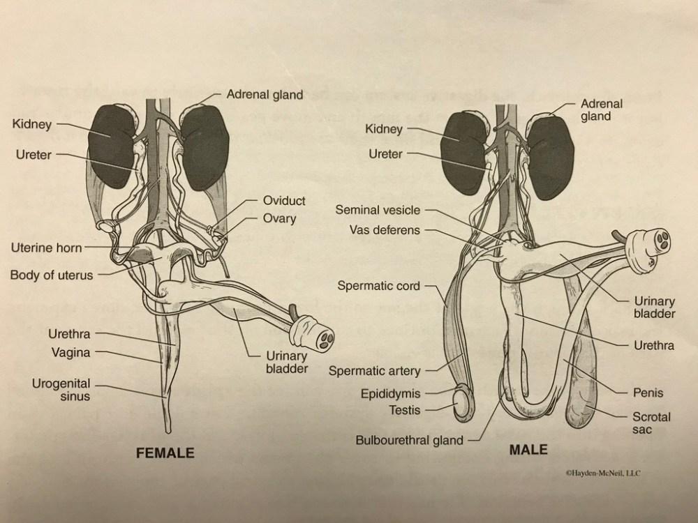 medium resolution of pig anatomy pt 4 reproductive anatomy