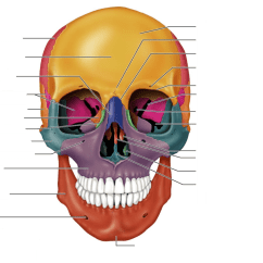 Axial Skeleton Skull Diagram Cooper 4 Way Switch Wiring Anterior Quizlet Location