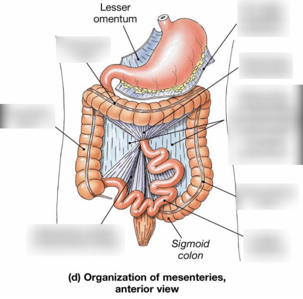 hight resolution of diagram of mesentery