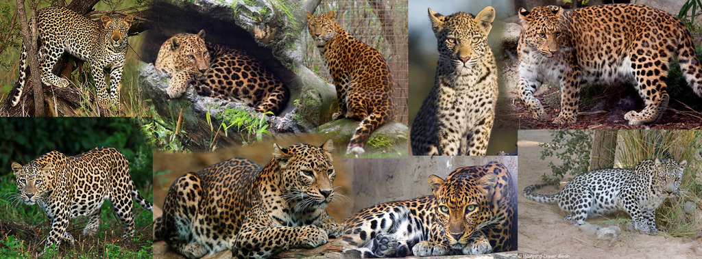 snow leopard anatomy diagram 2010 ford explorer wiring african schematics quizlet rh com food chain