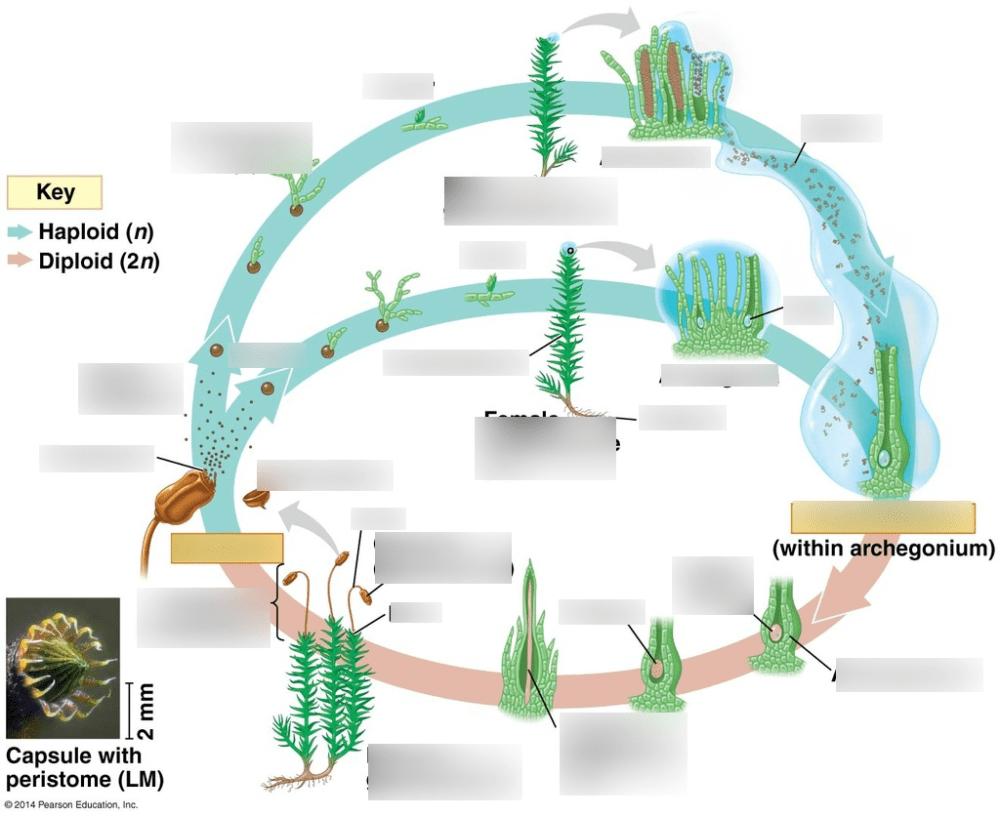 medium resolution of protonematum diagram