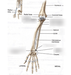 lab 1 upper extremity bones ulnar radius [ 791 x 1024 Pixel ]