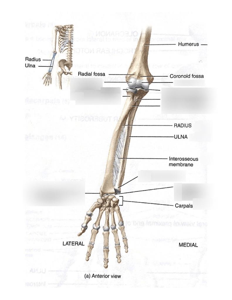 medium resolution of lab 1 upper extremity bones ulnar radius