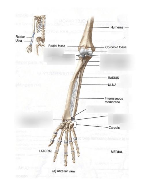 small resolution of lab 1 upper extremity bones ulnar radius