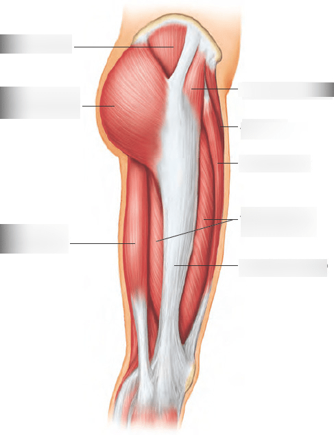 upper leg muscles diagram 2004 impala exhaust system 1 lateral view quizlet location