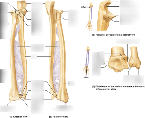 small resolution of ulna diagram neck
