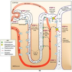 Kidney Nephron Structure Diagram Jvc Kd R200 Wiring 2 The Flashcards | Quizlet