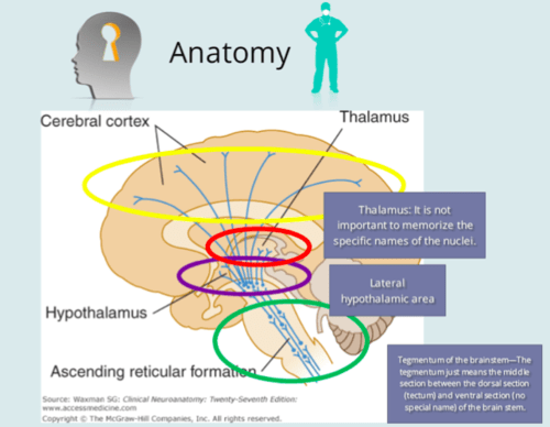 reticular formation diagram simplicity regent lawn tractor wiring the test 2 flashcards quizlet