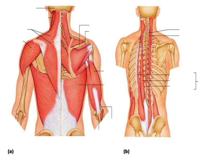 muscle diagram dorsal 2000 jeep wrangler ac wiring muscles quizlet location