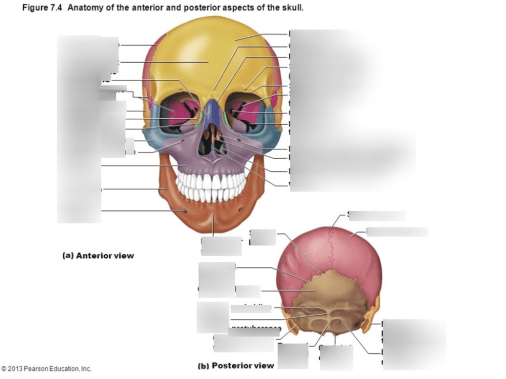 medium resolution of anatomy skull diagram labeled
