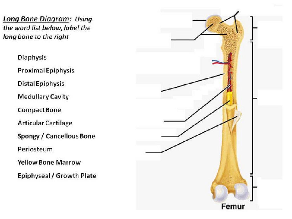 hight resolution of bone diagram to label