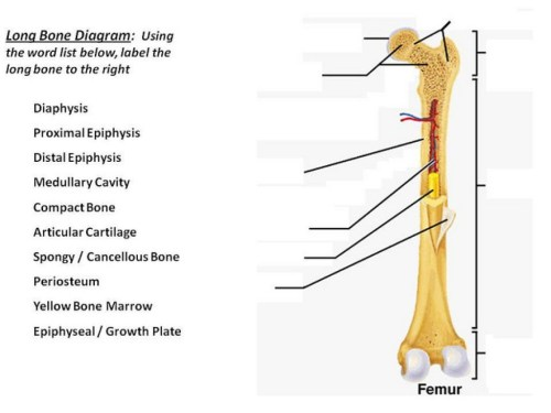small resolution of bone diagram to label
