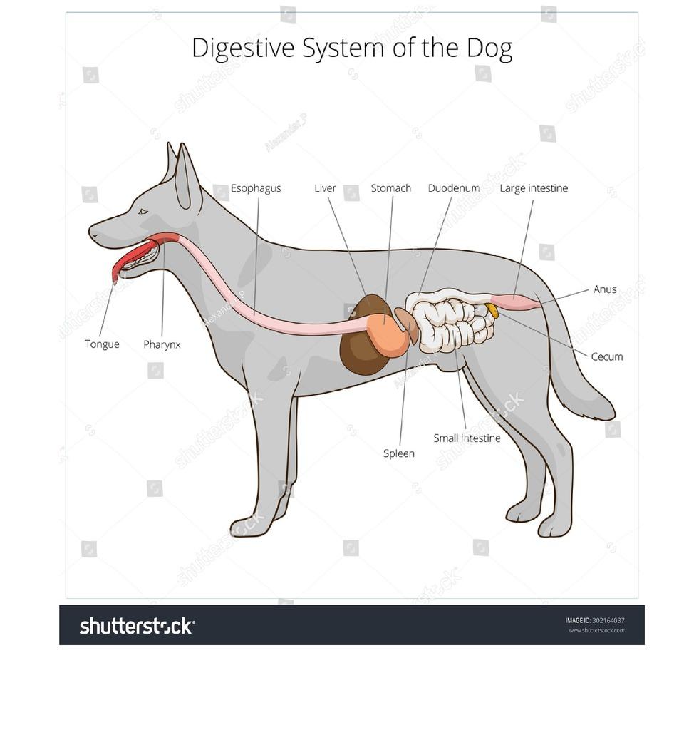 medium resolution of monogastric digestive system
