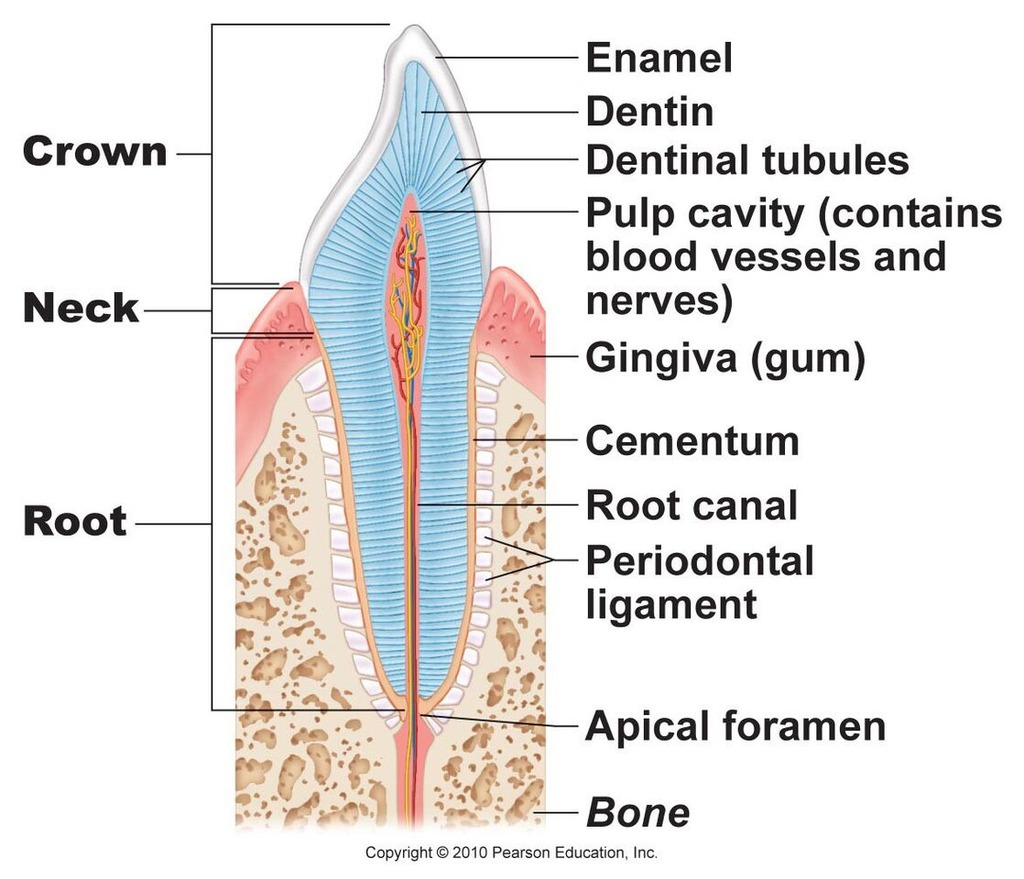 hight resolution of tooth pt 2