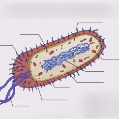Bacteria Structure Diagram Cool Plot Labeling Quizlet Location