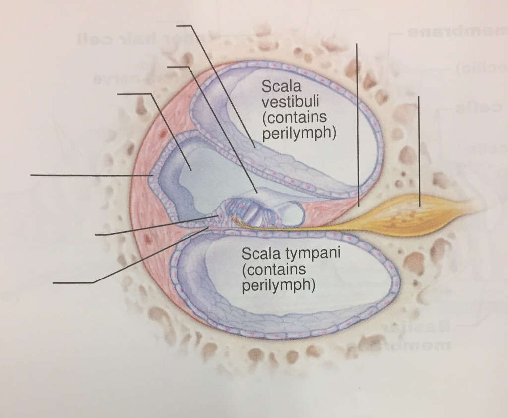 hight resolution of cochlea diagram