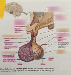 pituitary gland diagram [ 768 x 1024 Pixel ]