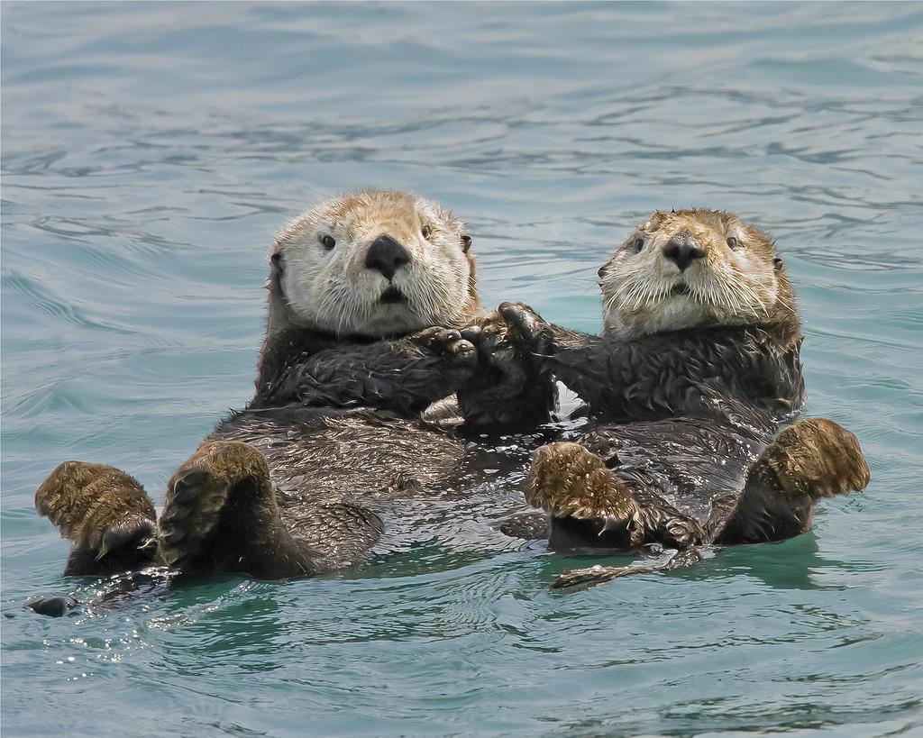 hight resolution of otter