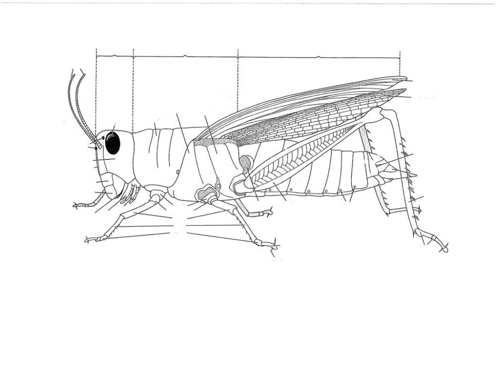 medium resolution of grasshopper diagram