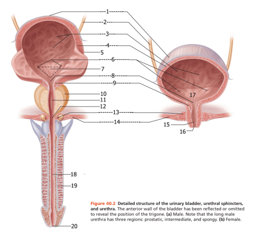 small resolution of detailed structure of the urinary bladder urinary sphincter and urethra