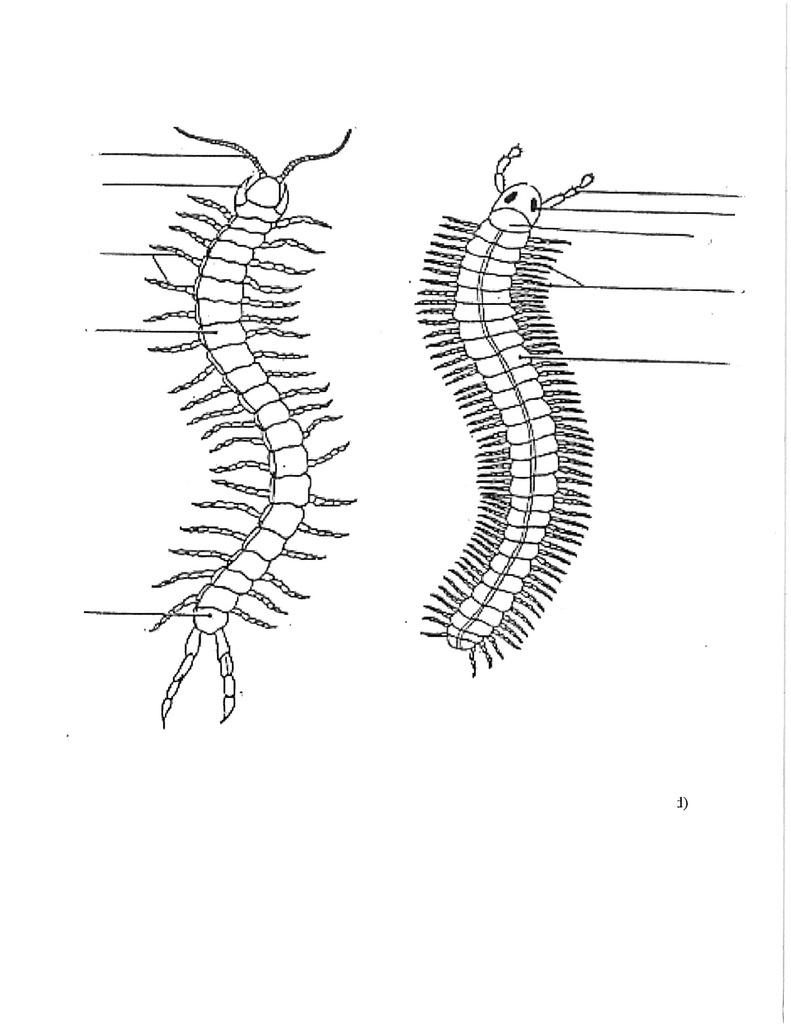 hight resolution of centipede diagram