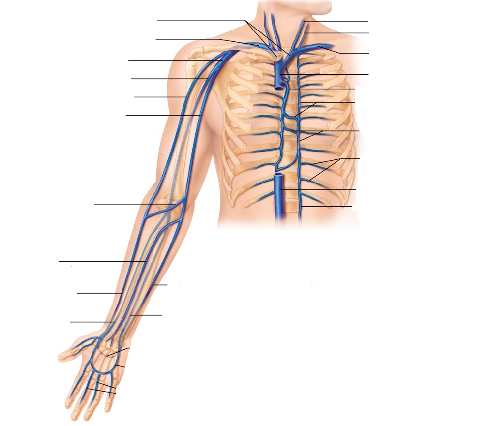 hight resolution of vein of the arm diagram