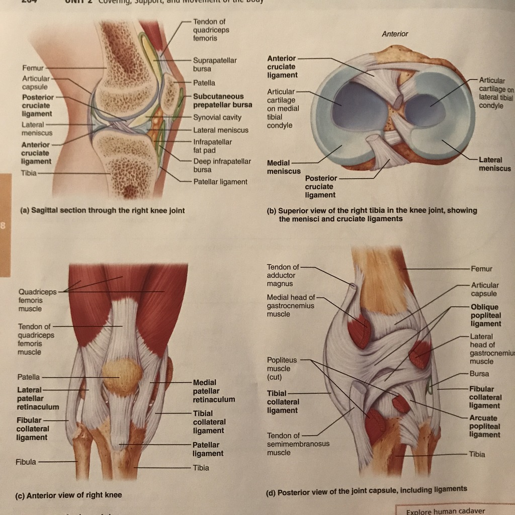 hight resolution of joint capsule diagram