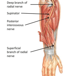 Radial Nerve Diagram Wiring For Capacitor Start Fan Motor Nerves Of Posterior Antebrachium Quizlet Deep Branch Location
