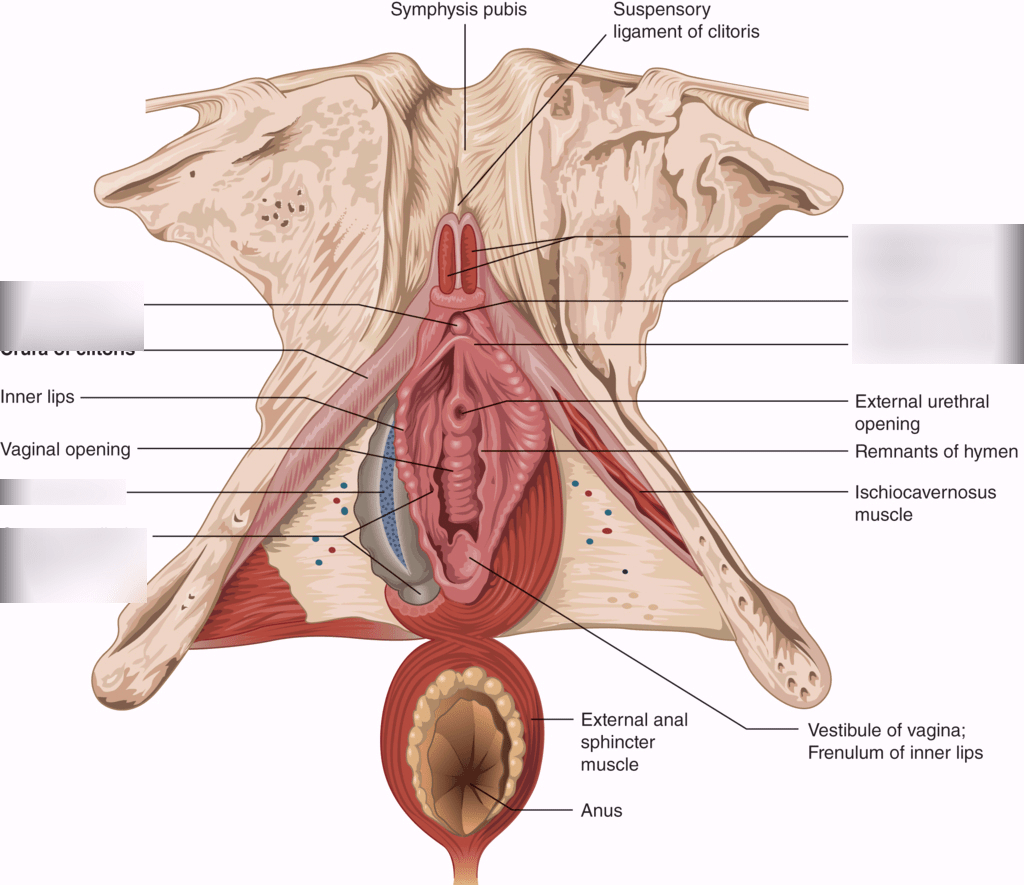hight resolution of clitoris diagram