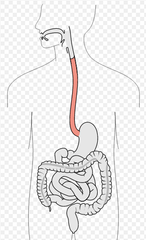 The Digestive System and Body Metabolism Chapter 14