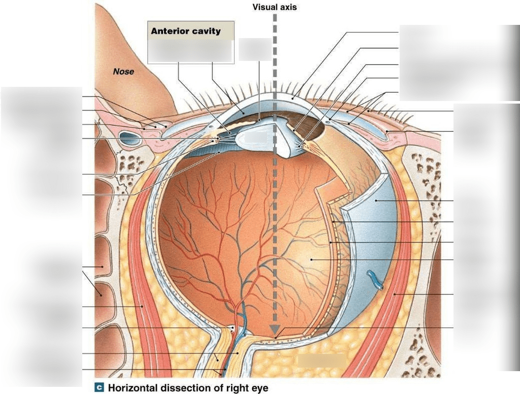 hight resolution of chap 17 horizontal dissection of right eye part 2