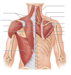 lab 3 posterior view of the muscles of the thorax and shoulder acting on the scapula and arm model  [ 1024 x 868 Pixel ]