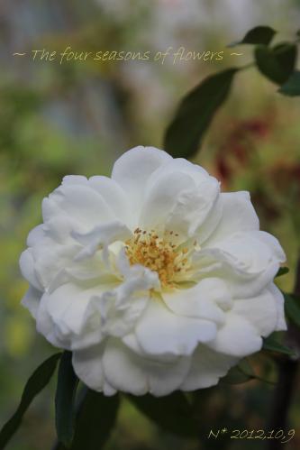 バラ ラマルクの秋花