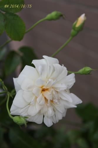 アリスター ステラ グレイの秋花