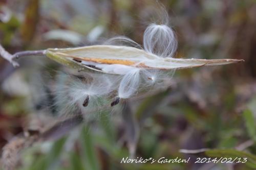 オキシペタラム ブルースターの種が飛び出る