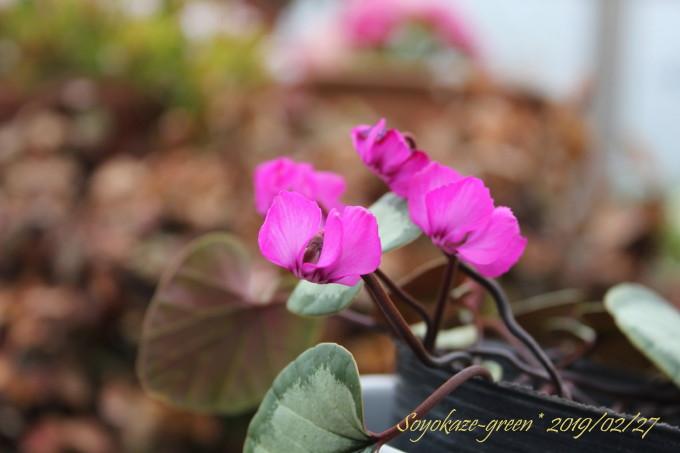 原種シクラメン コウム シルバー葉の花