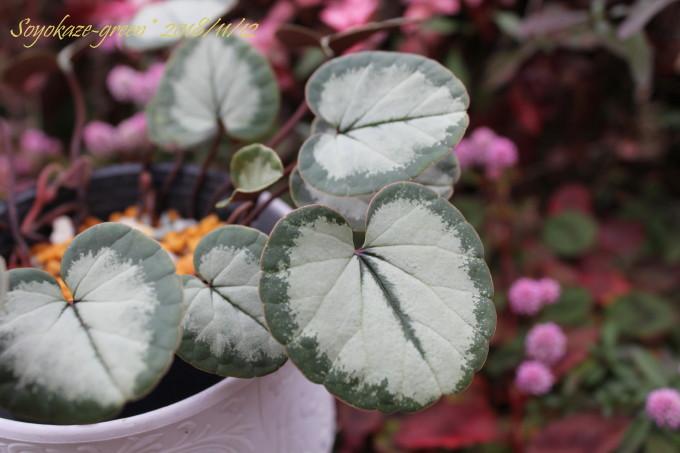 原種シクラメン コウム シルバー葉