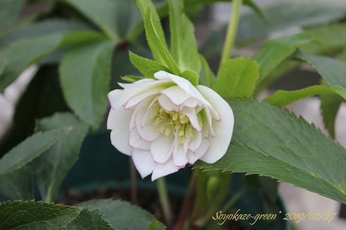 クリスマスローズ種蒔き苗に咲いた花