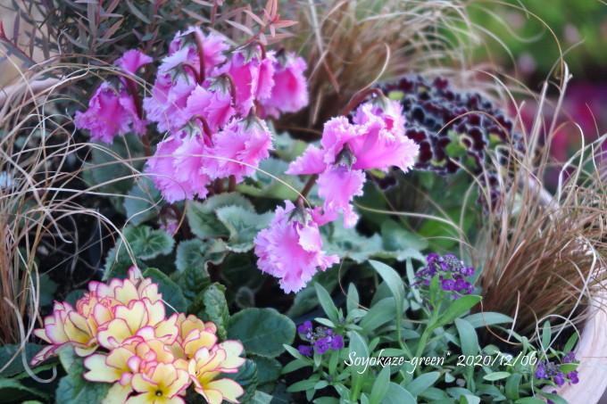 ピンク色のフリンジガーデンシクラメンの寄せ植え
