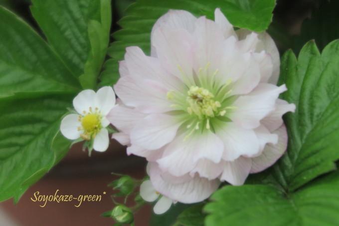 ワイルドストロベリーの花とクリスマスローズの花