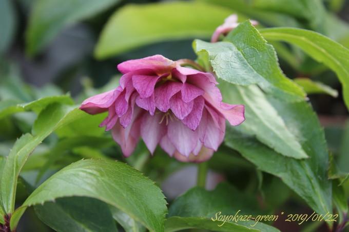 クリスマスローズの苗に咲いたピンクダブルの花