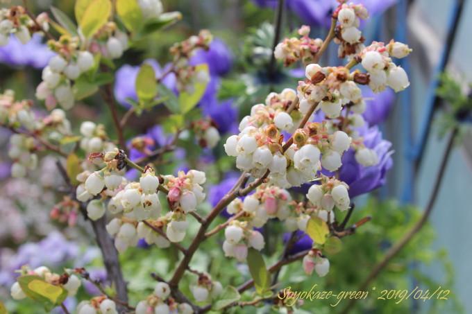 ブルーベリー シャープブルーの花