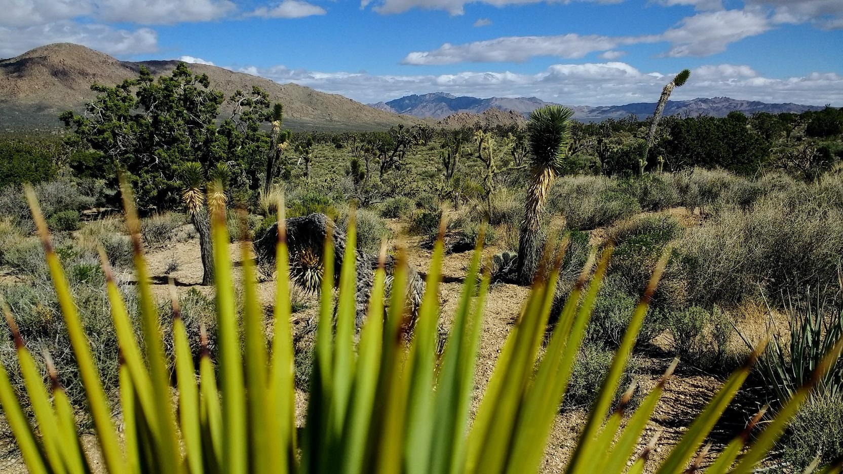 Mojave Desert Spikes