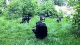 Leipzig Zoo chimps